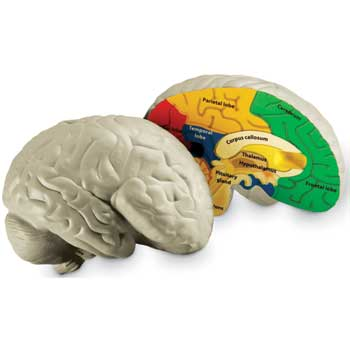 Learning Resources® Human Brain Model
